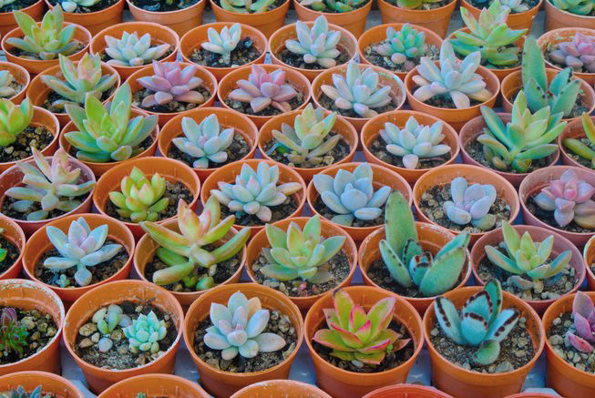 Succulents – The next BIG THING?
